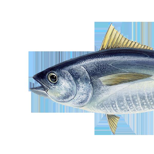 Gelbflossenthunfisch