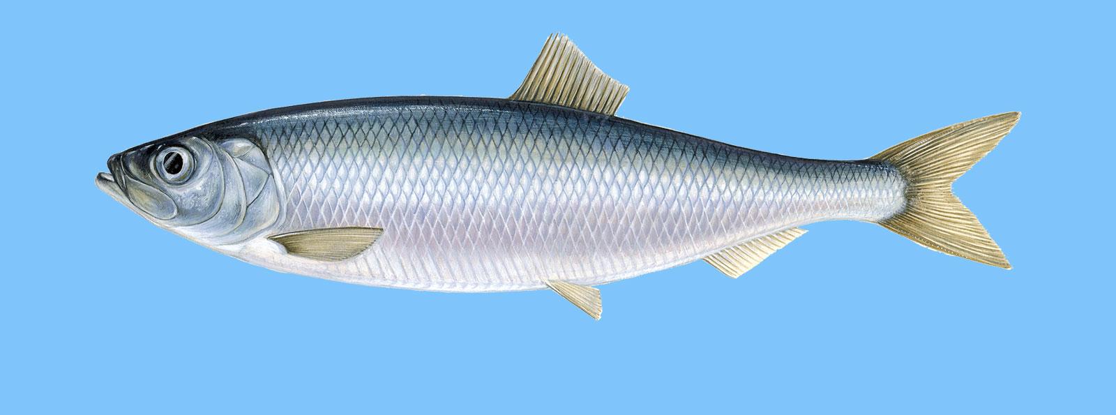 Hering - Der WWF Fischratgeber