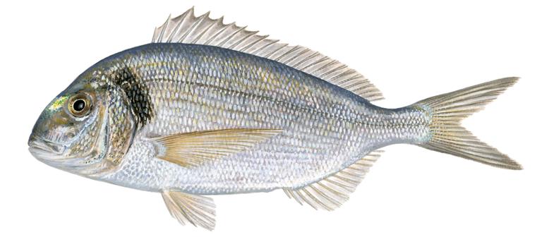 Gilt-head-sea-bream