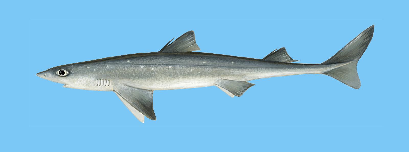 Schillerlocke fisch